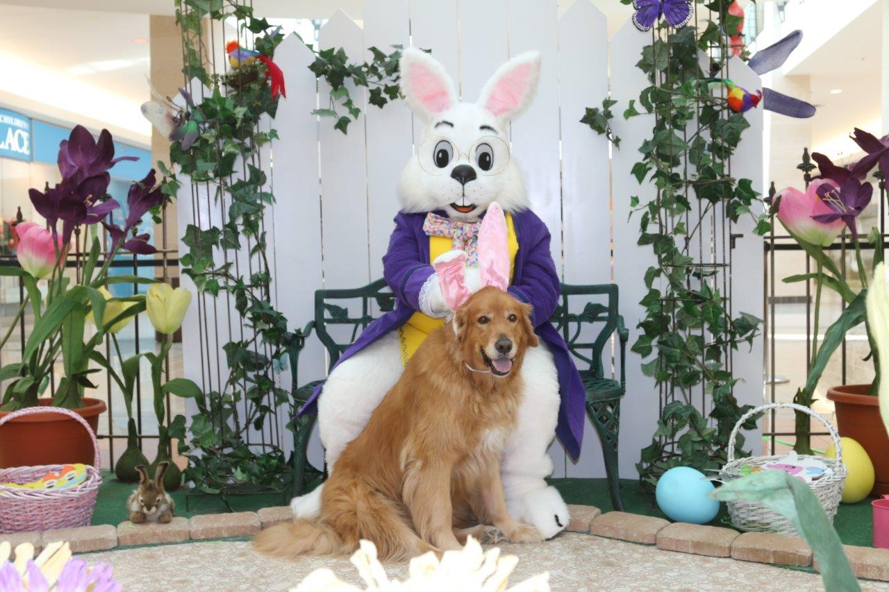 Our 9-year-old golden retriever gets his photo taken at the mall with the Easter Bunny.